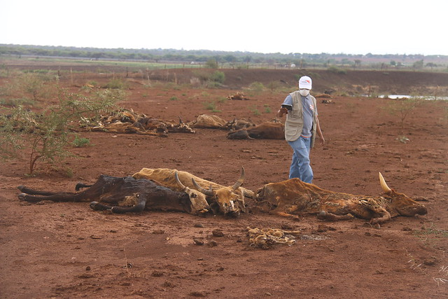Cattle are dying in hundreds as a result of the prolonged drought in the southeastern parts of Swaziland.