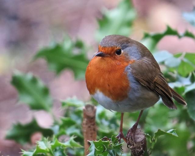 6696 Robin - Erithacus rubecula