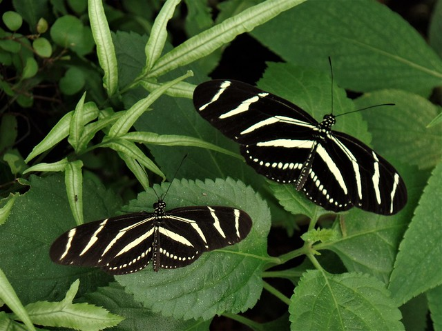 Zebra Longwing Butterfies (heliconius charitonius).    San Francisco Conservatory of Flowers, Jan. 2017