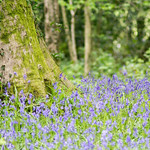 Tree among the Bluebells