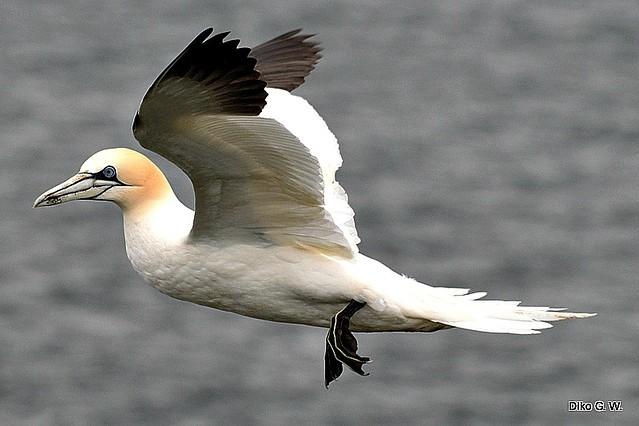 Gannet 31