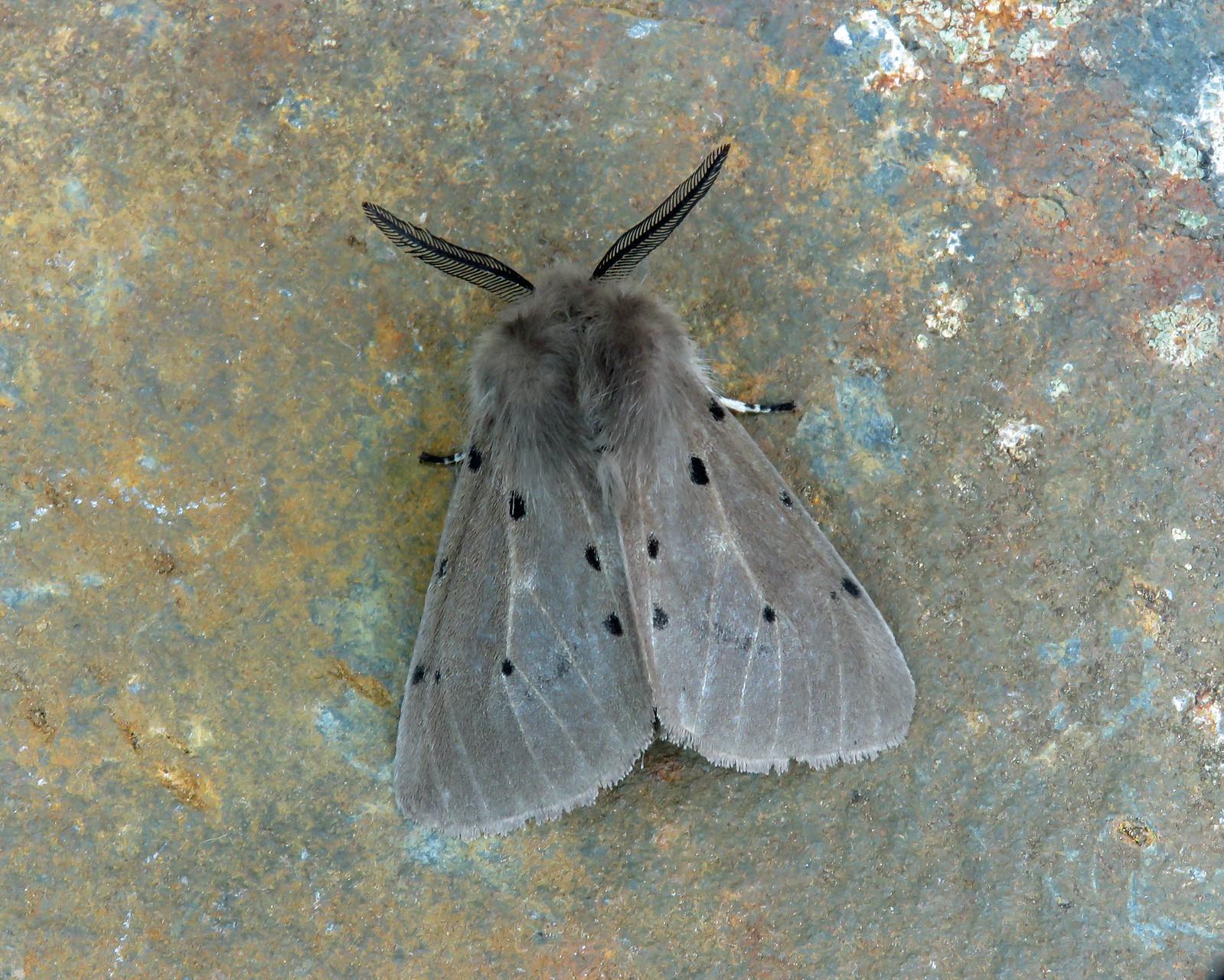 72.022 Muslin Moth - Diaphora mendica