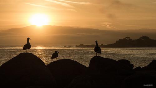 pacific pacificcoast pacificgrove silhouette sun sunrise california unitedstates us birds seagulls sea gulls