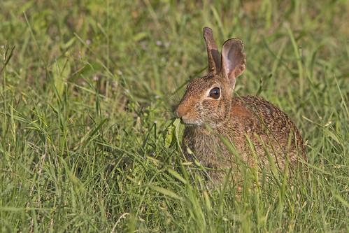 sylvilagusfloridanus easterncottontail conejo rabbit conejoserrano nature wildlife fauna naturaleza