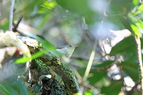 Cryptic Warbler, Ranomafana, Madagascar