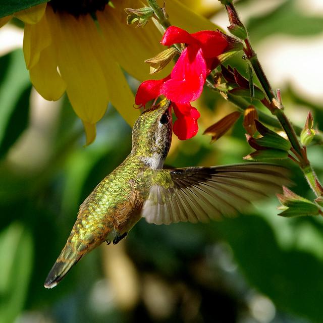 Rufous Hummingbird (Selasphorus rufus); Albuquerque, New Mexico, USA.
