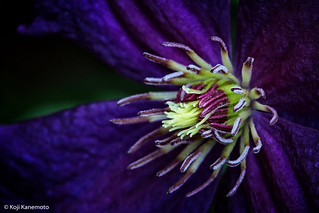 Young Clematis | by Mustang Koji