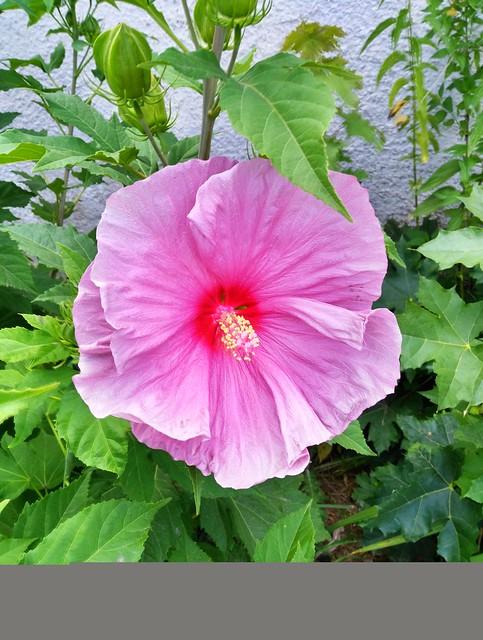 Rose Mallow (Hibiscus laevis)