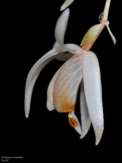 Coelogyne swaniana | by orchidfriend