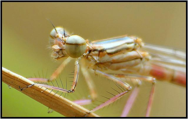 Damselfly - Libelle - Teichjungfer