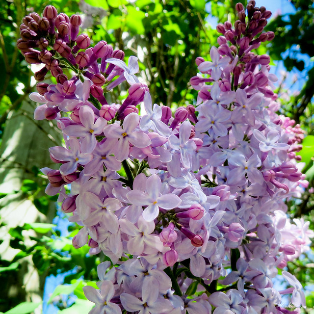 Perfume of May - Parfum de Mai