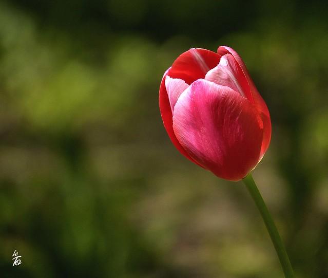 _DSC0490 - Tulipe