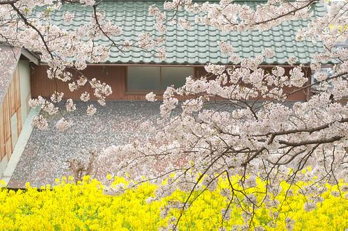 window japan cherry spring nikon blossom rape f18 500mm