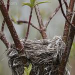 Nest in Redosier Dogwood