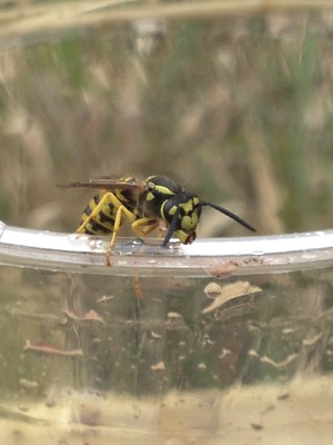 a yellow and black wasp with black antennae sitting on the edge of a clear plastic cup
