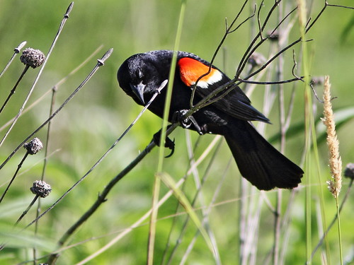 Red-winged Blackbird 20160629