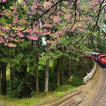 DAO-68775 嘉義縣,阿里山櫻花,阿里山,阿里山國家森林遊樂區,阿里山國家風景區,阿里山森林鐵道,櫻花鐵道,阿里山櫻花季,吉野櫻花季,森林火車,阿里山小火車,