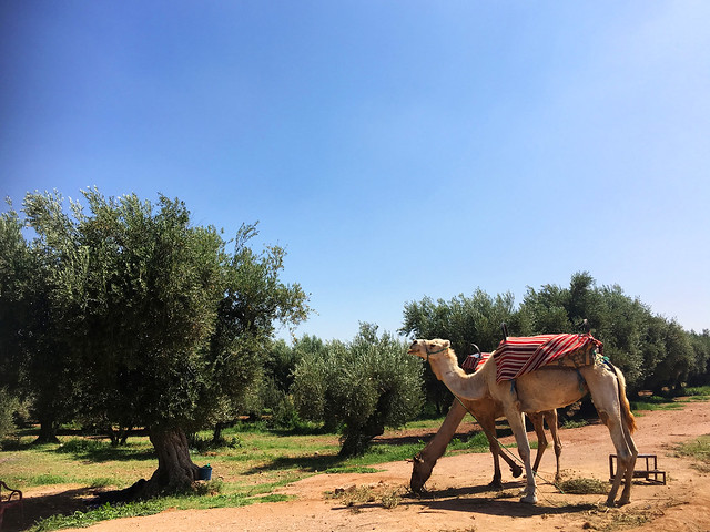 Camels at the Palmerie