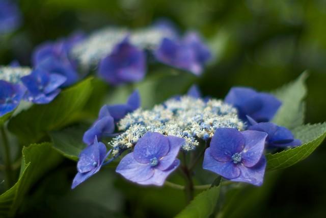 OMD05127 紫陽花 Hydrangea macrophylla at f/1.2