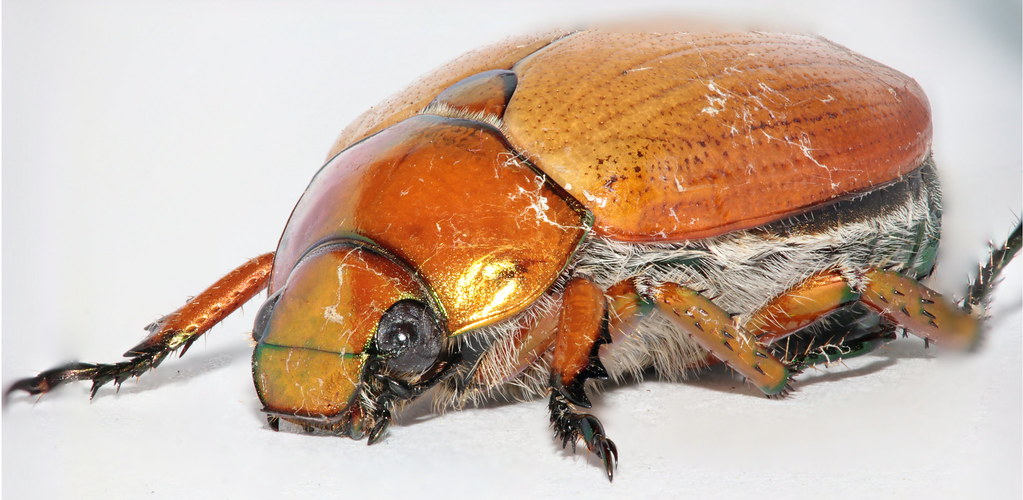 Australian Christmas Beetle.Australian Christmas Beetle Anoplognathus Sp Stacked Im