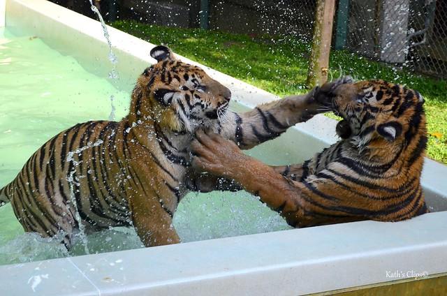 Day 5 - Tiger Kingdom Adventures