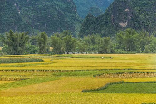 asia asian vietnam northvietnam northeastvietnam landscape outdoor field harvest mountain flank plant vietnamlandscape canon canoneos1dx canonef70200mmf28lisiiusmlens đôngbắc caobằng trùngkhánh phongcảnh ngoàitrời lúachín mùagặt cánhđồng đồnglúa mùagặtcaobằng caobằngmùalúachín