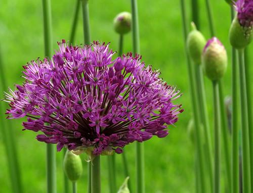 Van Dusen Garden: Purple Allium flowers