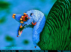 Male OCELLATED TURKEY Meleagris ocellata in TIKAL NATIONAL PARK in Guatemala. 2004 Photo by Peter Wendelken.