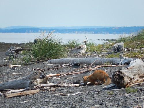 Parc du Bic - vosje op het strand