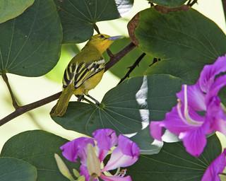 Common Iora (Aegithina tiphia)