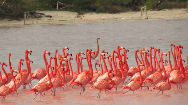 Flamingos in Celestún Estuary