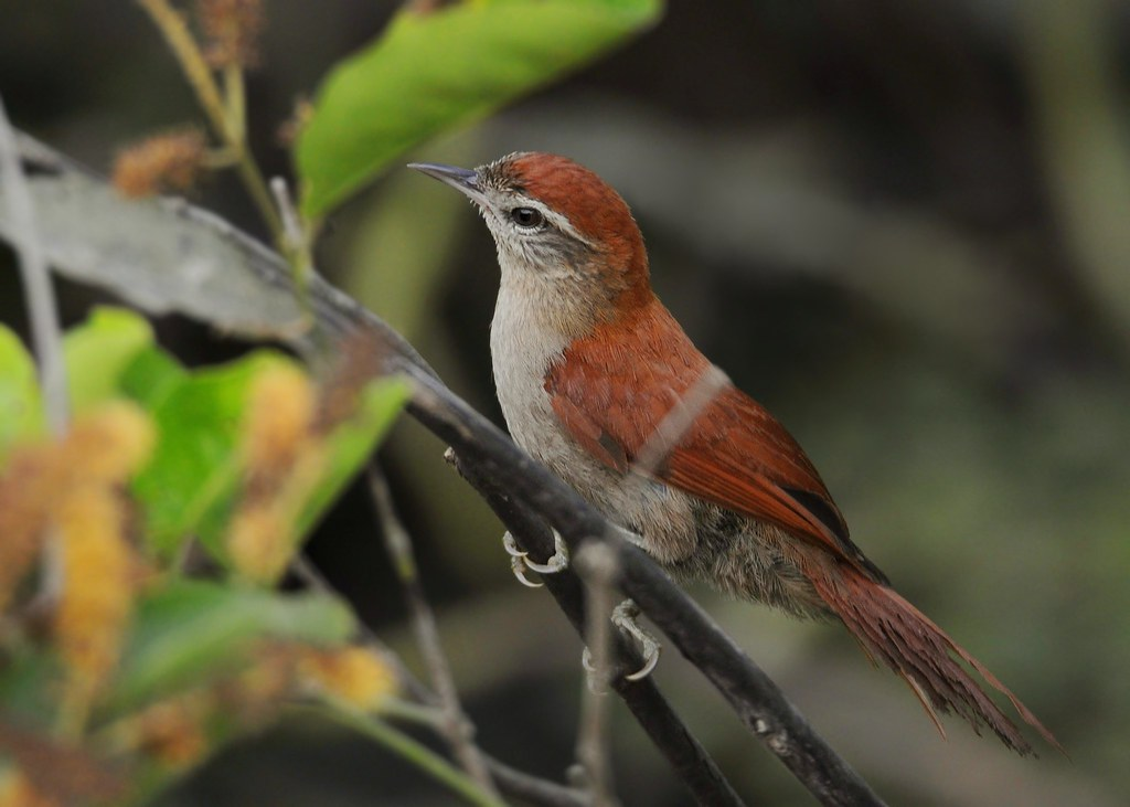 Arredio-do-rio / Rusty-backed Spinetail