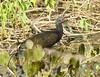 Ibis Verde, Green Ibis (Mesembrinibis cayennensis) by Francisco Piedrahita