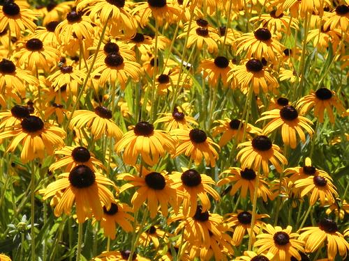 201308 thebridgesgolfclub abbottstown pennsylvania blackeyedsusans flowers favorite platinumheartaward