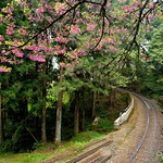 DAO-68774 嘉義縣,阿里山櫻花,阿里山,阿里山國家森林遊樂區,阿里山國家風景區,阿里山森林鐵道,櫻花鐵道,阿里山櫻花季,吉野櫻花季,森林火車,阿里山小火車,