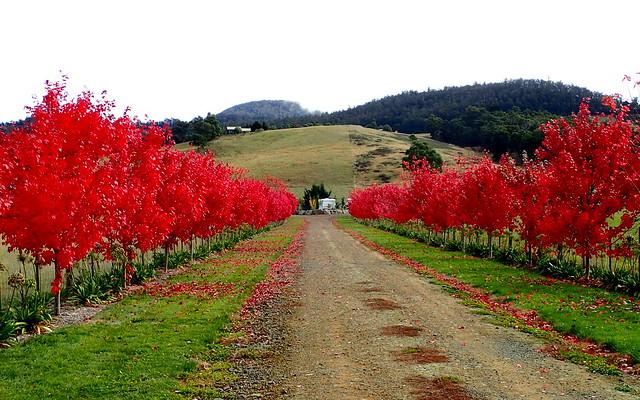 Autumn Trees - Huon Valley