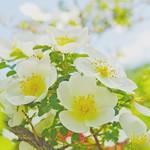 Rose, Dunwich Rose, バラ, ダンウィッチ ローズ,