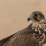Adult Falcon looking back.