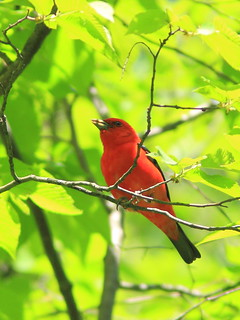 Scarlet Tanager 5-20150521 | by Kenneth Cole Schneider
