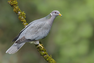 Band-tailed Pigeon | by kencrebbin