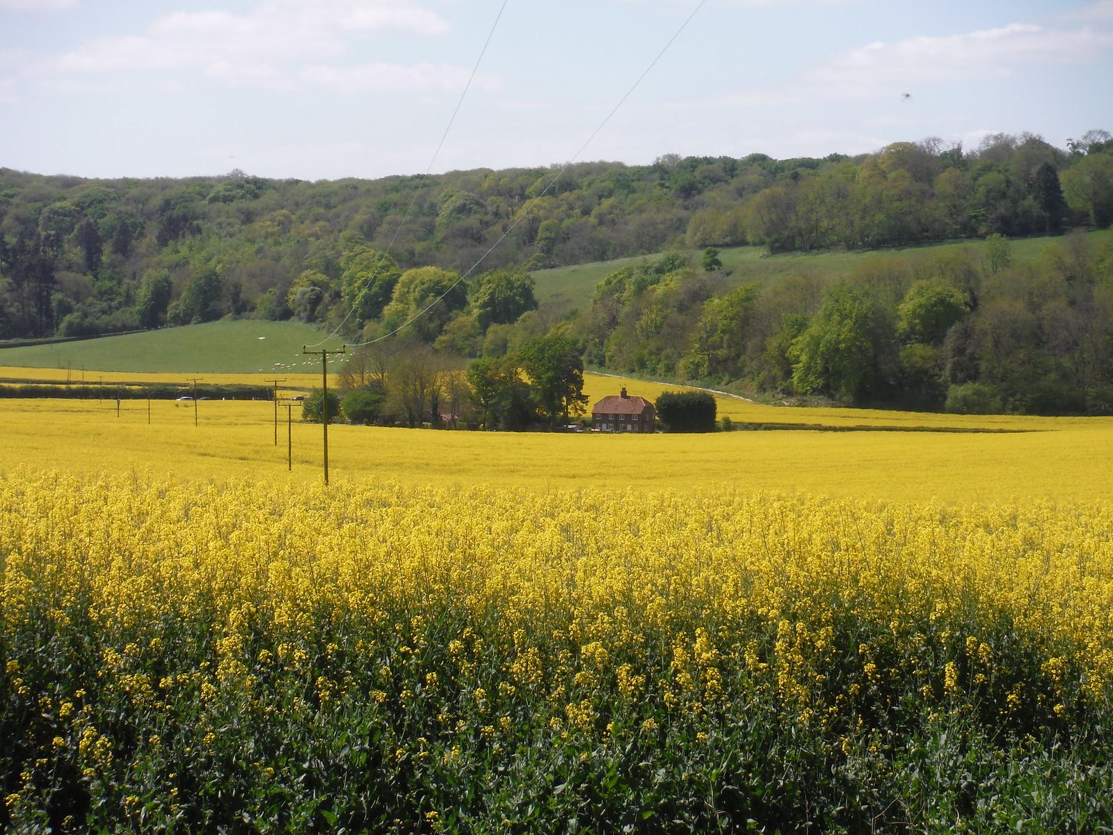 Farm House in Rape Oilseed Field, from Locksash Lane SWC Walk Rowlands Castle Circular