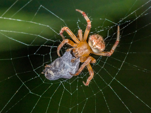 Labyrinthine Orb Weaver | by rickmcnelly
