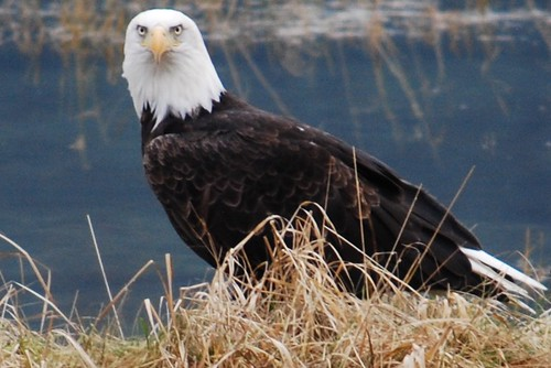 5  FVBEF Photo Contest 2016 | by Fraser Valley Bald Eagle Festival