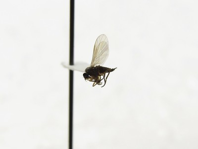 """Close-up of a small, dark fly that is """"point mounted,"""" or glued to a teardrop shaped piece of cardstock with a pin through the other end."""