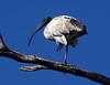 Australian ibis Threskiornis molucca by Maureen Pierre