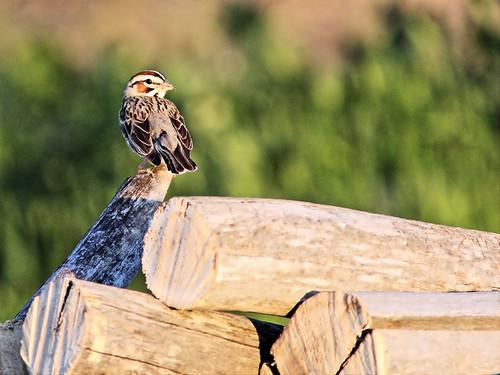 Lark Sparrow 07-20160618
