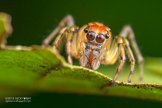 Jumping spider (Salticidae) - DSC_1697