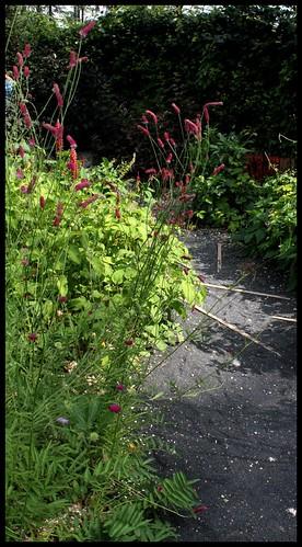 Sanguisorba tenuifolia - sanguisorbe à feuilles étroites  22482126342_db9697f21c