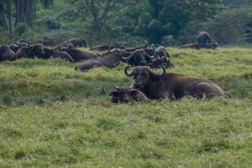 Afrikanische Büffel (Syncerus caffer) - Abstieg - 4. Tag Mount Meru Tour, 2016