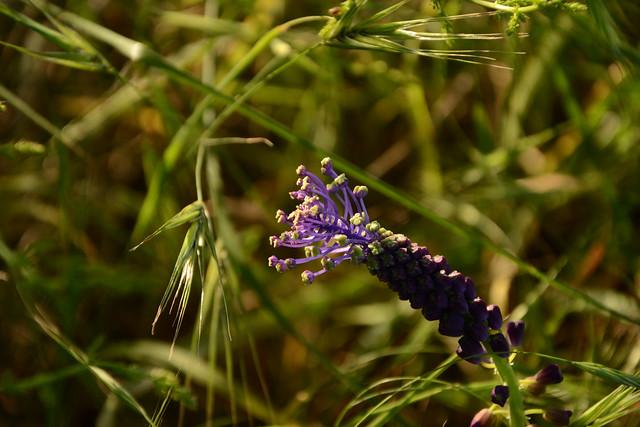 Leopoldia comosa (= Muscari comosum) - ail à toupet 17295100766_f8822c38c0_z